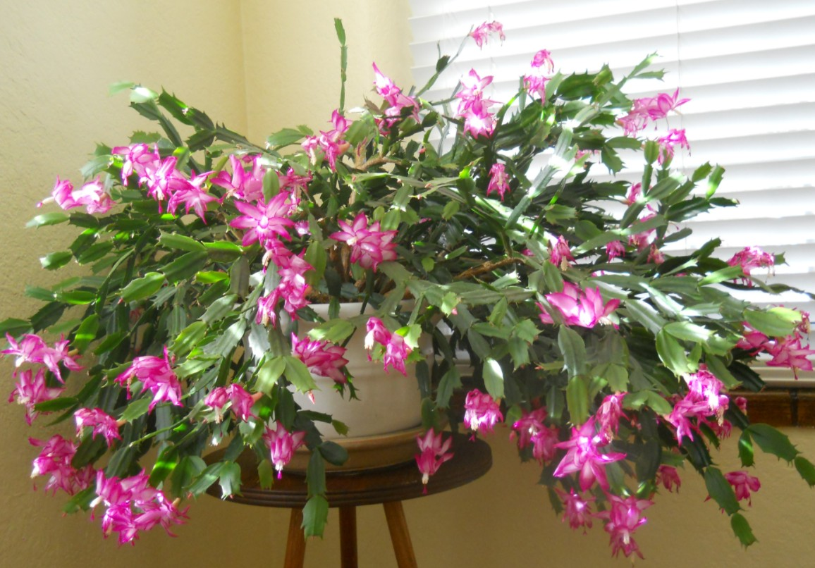 ?How Often Should I Water A Christmas Cactus?